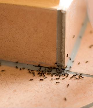 Mrówki faraonki
