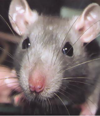 Szczury i myszy